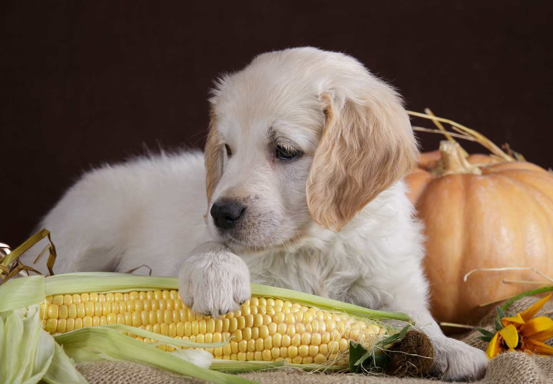 犬はとうもろこしを食べても大丈夫!誤飲などの注意点やおすすめの与え方、1日の適量などを解説【獣医師監修】