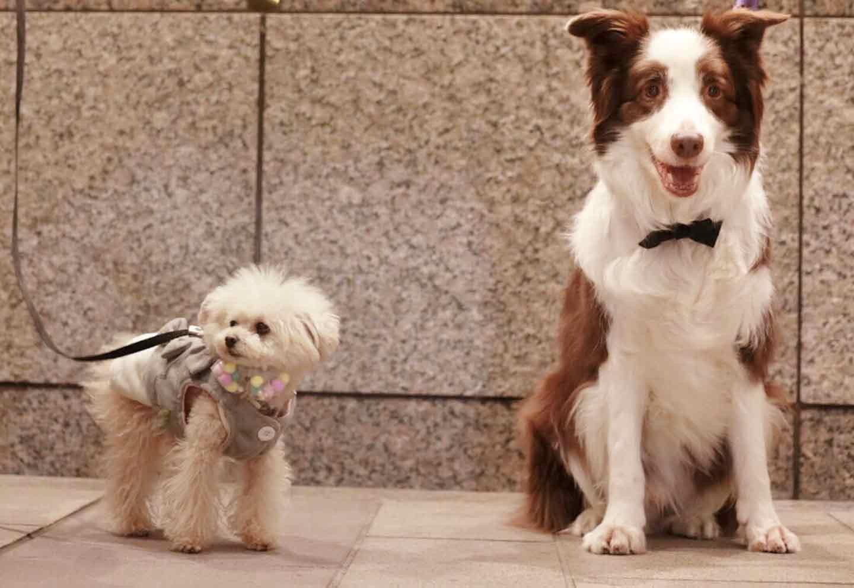 愛犬用蝶ネクタイの作り方 大型犬にもピッタリ