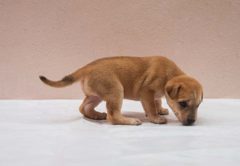 排尿前に地面を嗅ぐ犬