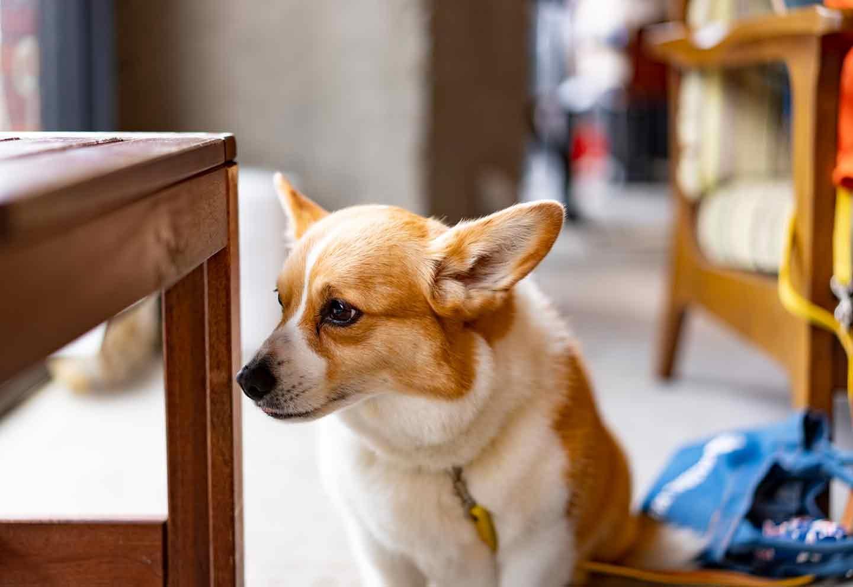 タレントIMALU 飼い主インタビュー 外を眺めるコーギー