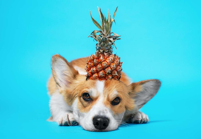 【獣医師監修】犬にパイナップルを食べさせても大丈夫?犬、パイナップル
