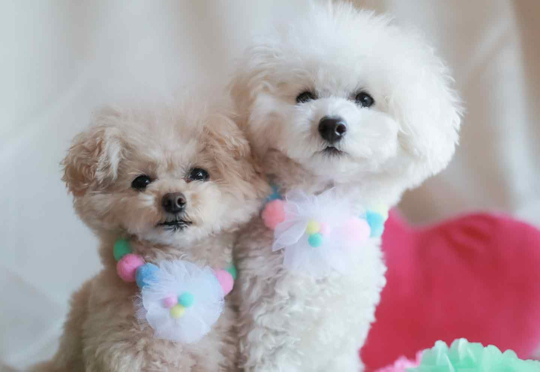 愛犬用フラワーモチーフ ポンポンの作り方 チュールでポンポンを作る