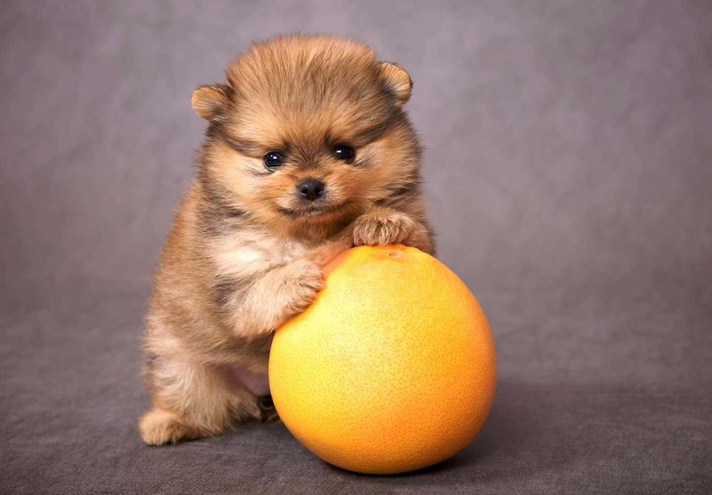【獣医師監修】犬にグレープフルーツを食べさせても大丈夫?犬、グレープフルーツ