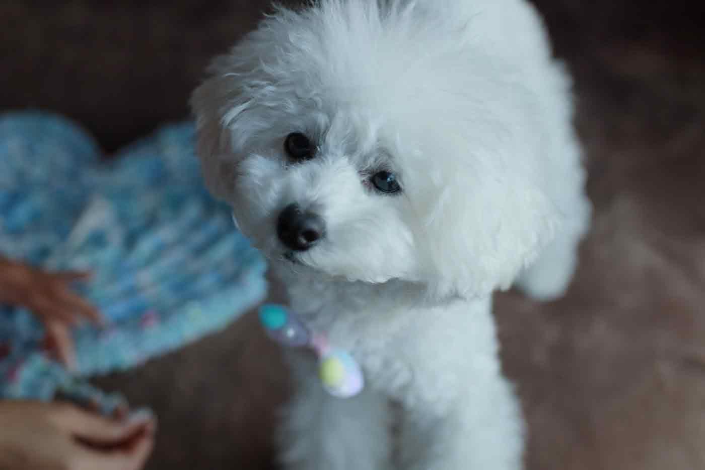 愛犬用指編み 応援するトイプードル