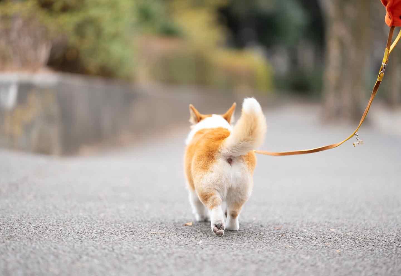 飼い主インタビュー お散歩するコーギーとタレントIMALU