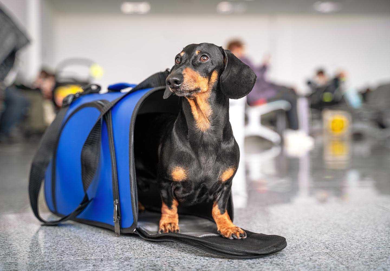 【獣医師監修】犬を飛行機に乗せる方法とは?知っておくべき注意点、航空会社ごとのルールと手続きの流れについて解説