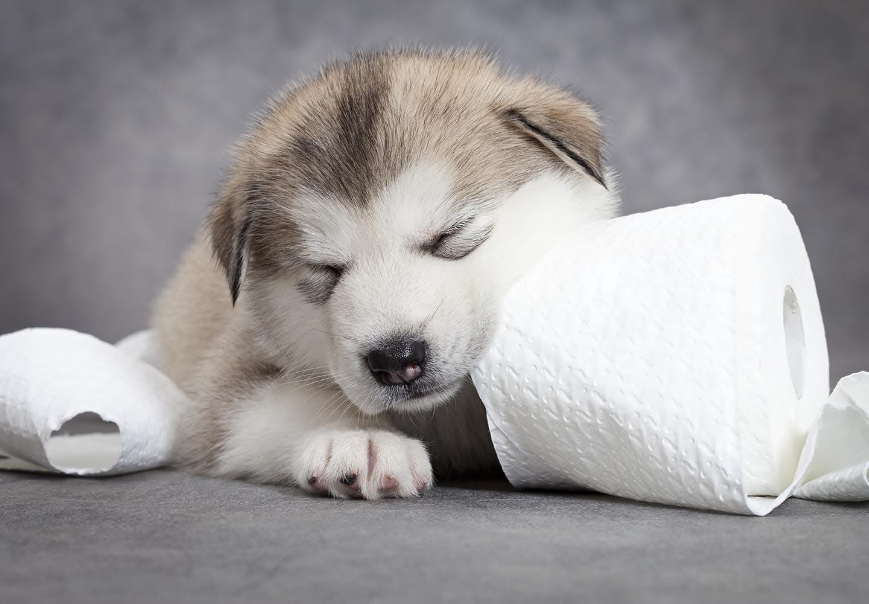 犬がティッシュを食べると危険!?知っておきたい対処法や予防策を解説【獣医師監修】