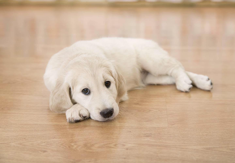 【獣医師監修】犬が床を舐める理由とは?行動の裏にある心理、やめさせる方法について解説