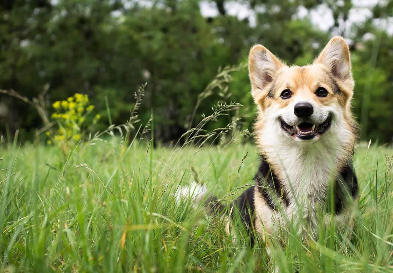 犬の発情期はいつから?メスとオスの行動の違いや対処法、注意点について解説【獣医師監修】