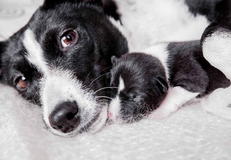 【獣医師監修】犬の妊娠から出産までに知っておきたいこととは?妊娠期間や症状、注意点について解説