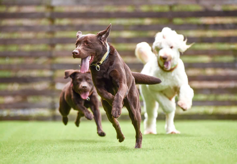 ドッグランを利用する犬