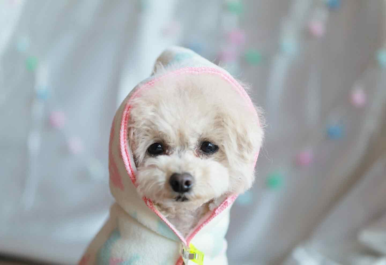 小型犬向け 愛犬用タオルフードポンチョ 愛犬にはおらせてサイズを測る
