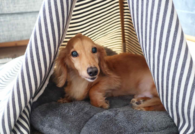 愛犬用の簡単ティピーテントのDIY 満足げなダックスフント