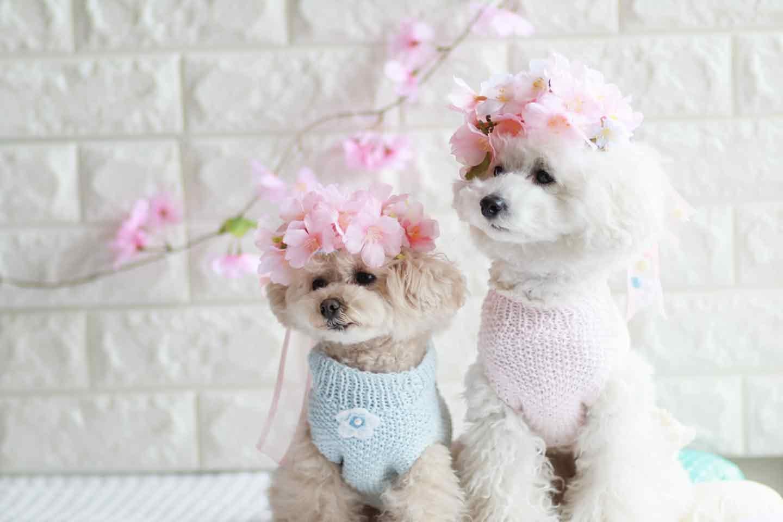 100均 桜 愛犬用の花飾り トイプードル