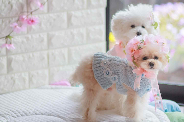 100均 桜 愛犬用の花飾り カチューシャ