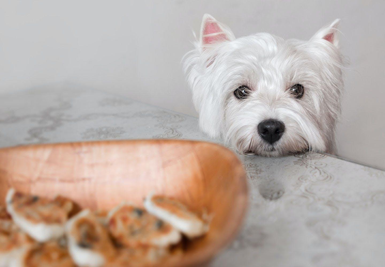 在宅勤務中に愛犬が肥満になってない?おやつのおねだり&盗み食いへの対処法と必要なしつけを教えます!