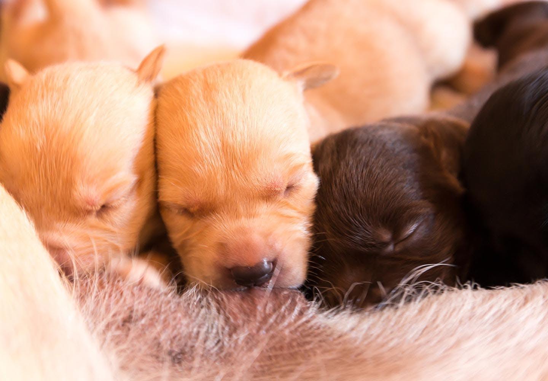 犬の妊娠から出産までに知っておきたいこととは?妊娠期間や症状、注意点について解説【獣医師監修】