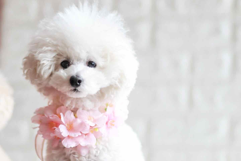 100均 桜 愛犬用の花飾り チョーカー