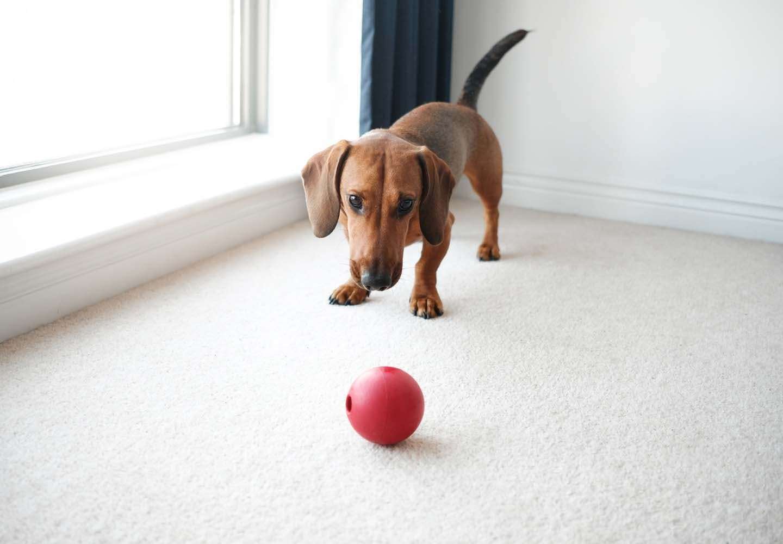 カーペットの上で遊ぶ犬