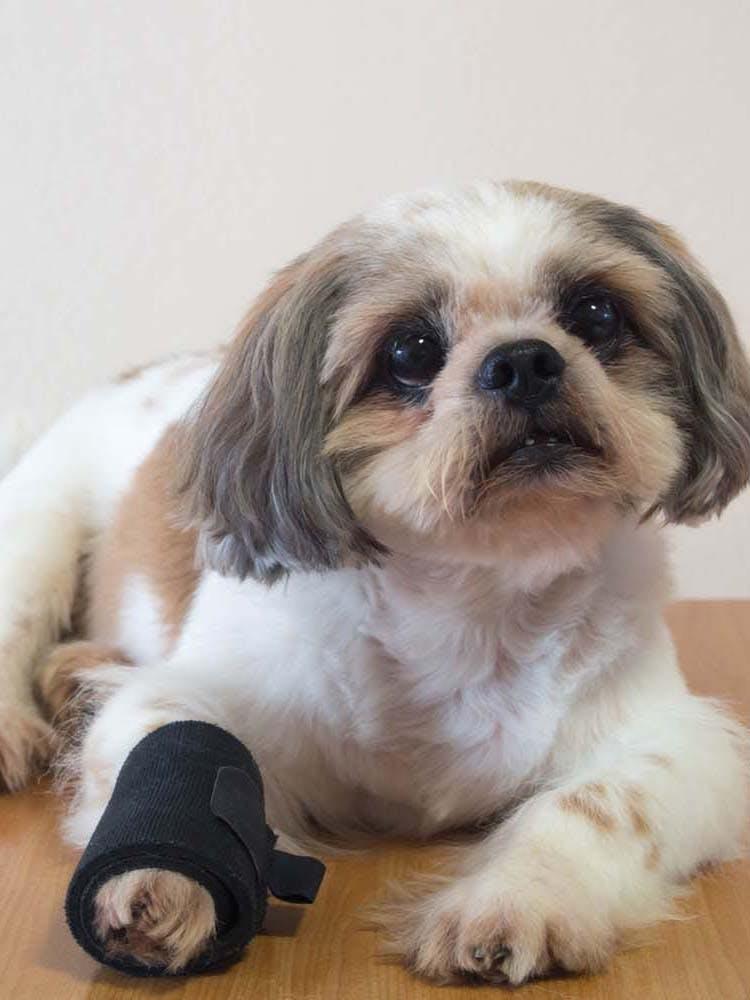 犬が骨折したらどうすれば?応急処置や病院に行くタイミング、治療法などについて解説【獣医師監修】