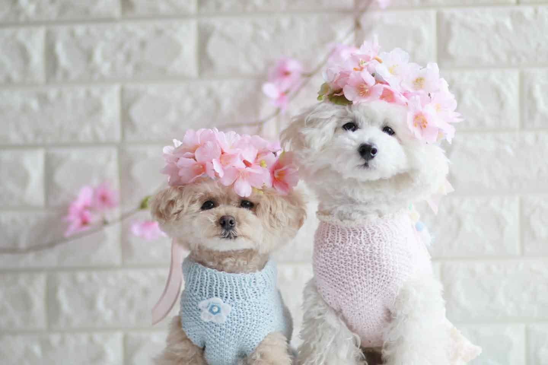 【簡単10分】春のお散歩にぴったり♡100均の桜を使った愛犬用の花飾り(花冠)の作り方!