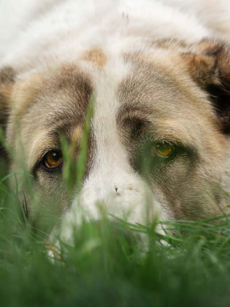 犬のフィラリアってどういう病気?原因や治療法、予防策などを解説【獣医師監修】