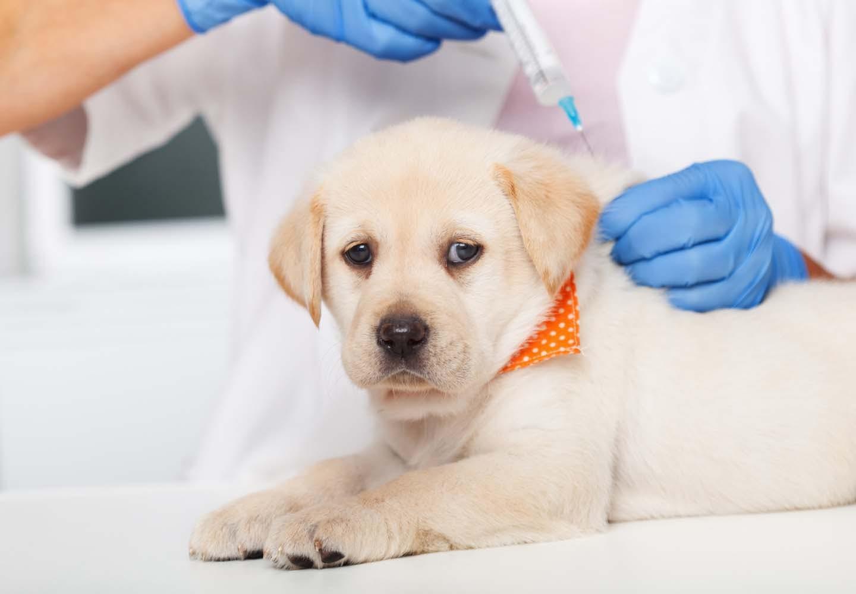 子犬に必要なワクチンを早見表で紹介!接種する理由や散歩に行けるようになる時期とは?【獣医師監修】