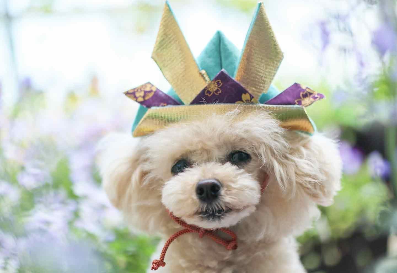 【子供の日】簡単3STEP♪100均フェルトの手作り愛犬用折り紙風かぶと(帽子)なら10分で完成!