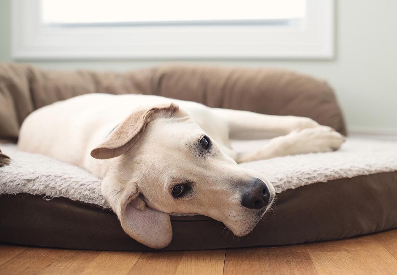 犬のクッシング症候群とは?原因と治療法、6歳以降は特に注意が必要な理由について解説【獣医師監修】
