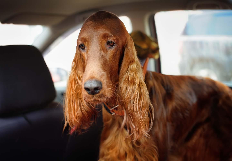 車酔いの犬