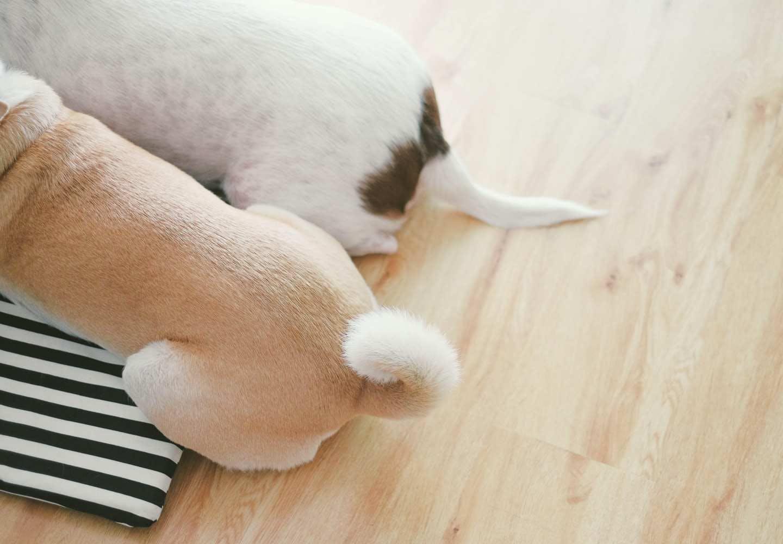 犬が頻繁におしりを舐める理由とは?
