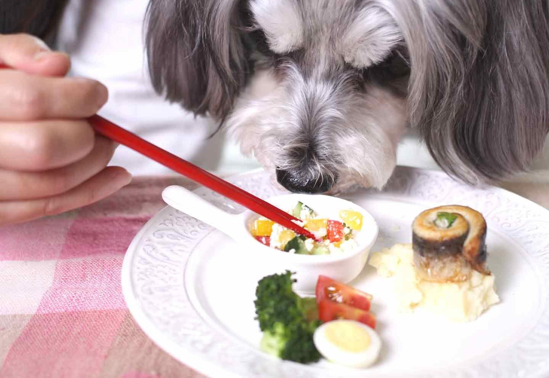 愛犬用いわしのくるくる巻きプレートを食べるシュナウザー