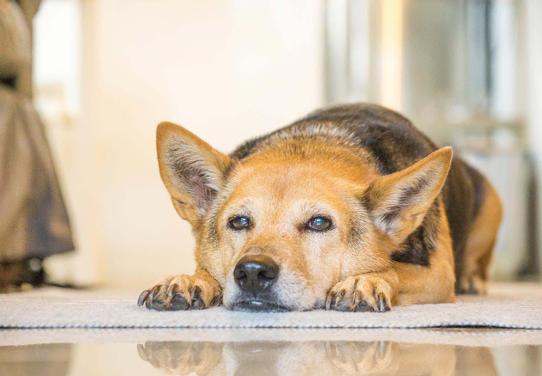 犬のお腹がキュルキュル鳴る原因は?と考えられる病気と対処法について解説【獣医師監修】