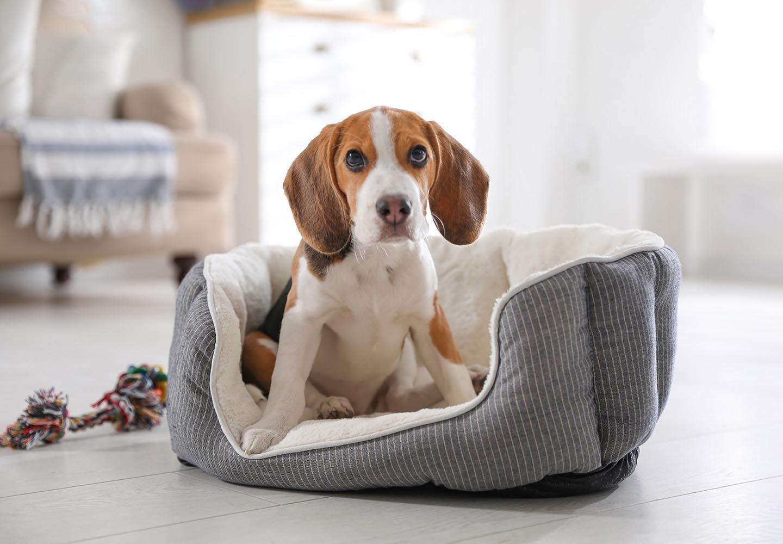 落ち着きがなくウロウロ…犬がおかしな行動をする原因は?対処法と病院に行くべき症状を解説【獣医師監修】