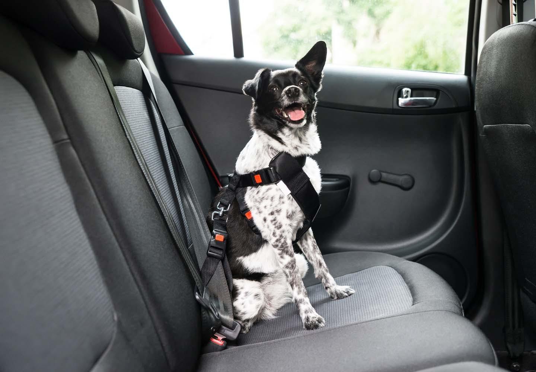 車の後部座席に座る犬