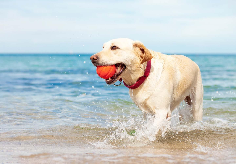 海でボール遊びする犬