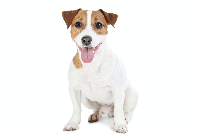 ジャック・ラッセル・テリアはどんな犬?性格・特徴・飼いやすさ、しつけのコツなどについて解説【獣医師監修】