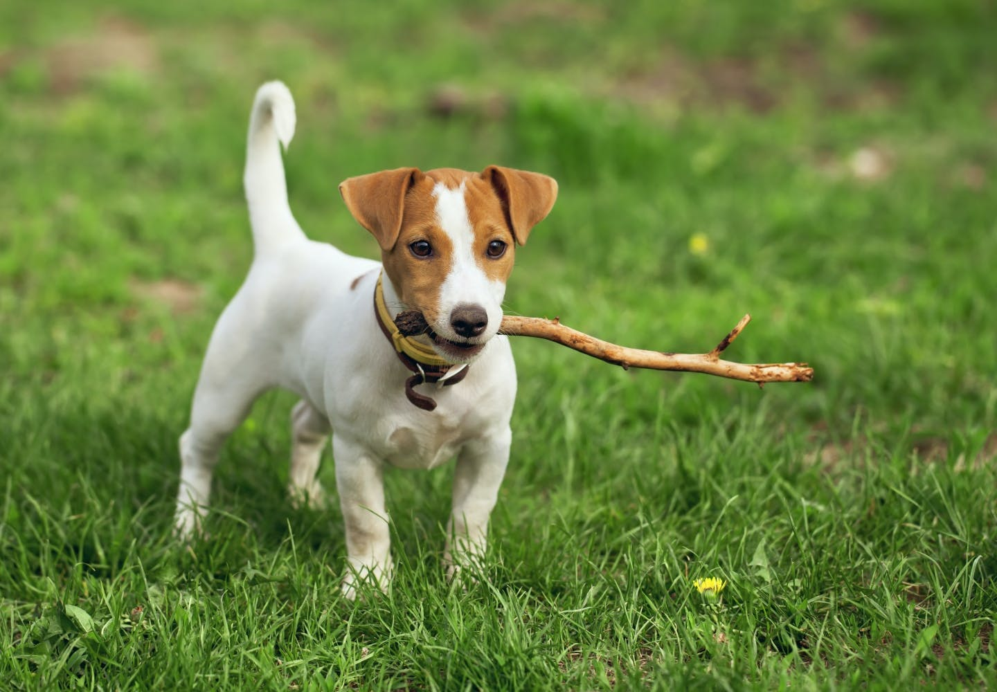 jack_russell_terrier_p04.