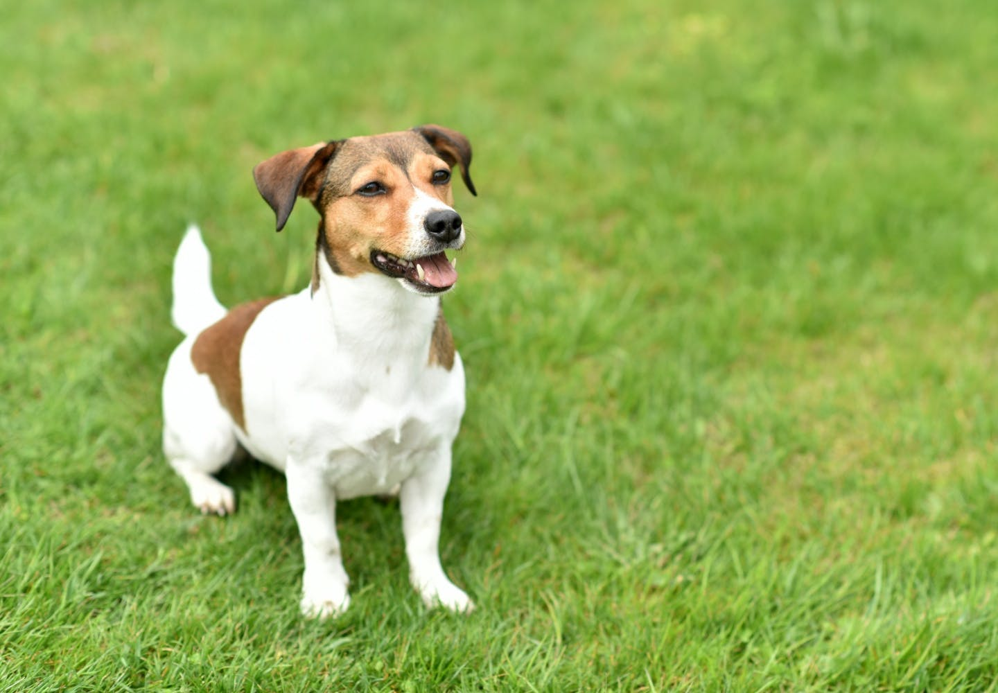 jack_russell_terrier_p01