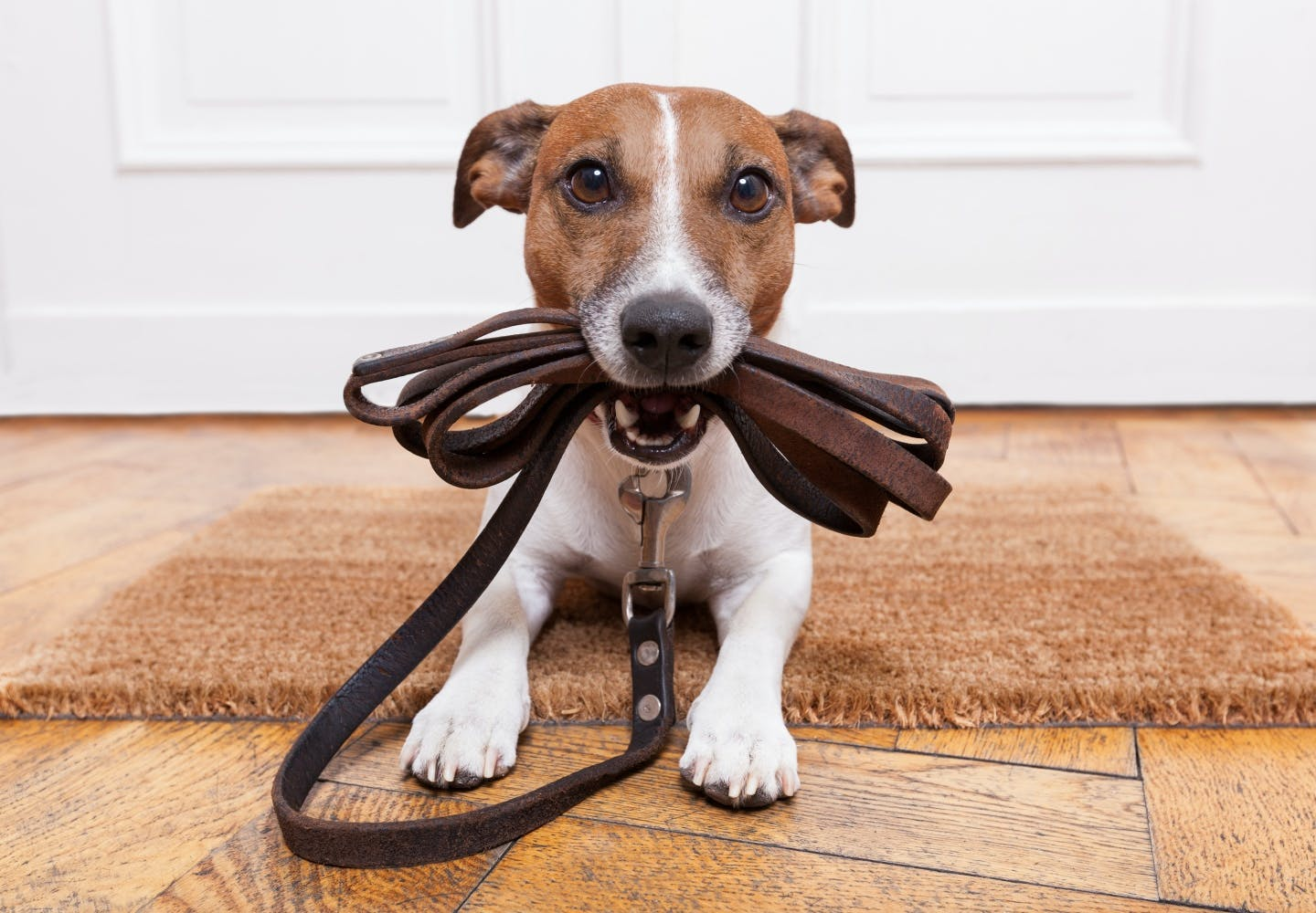 jack_russell_terrier_p05