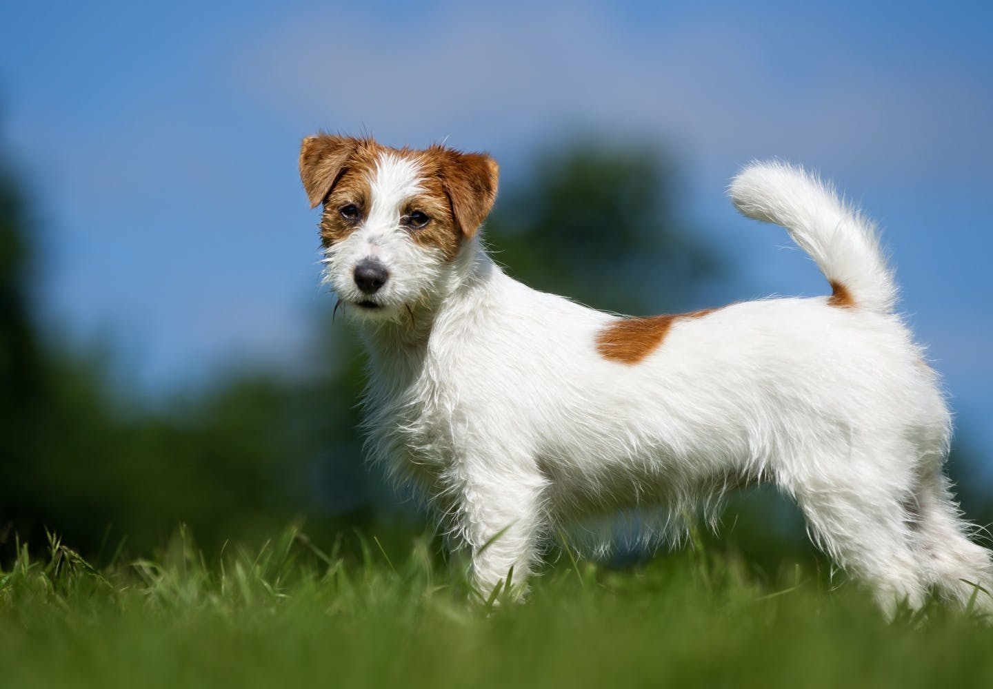 jack_russell_terrier_p02