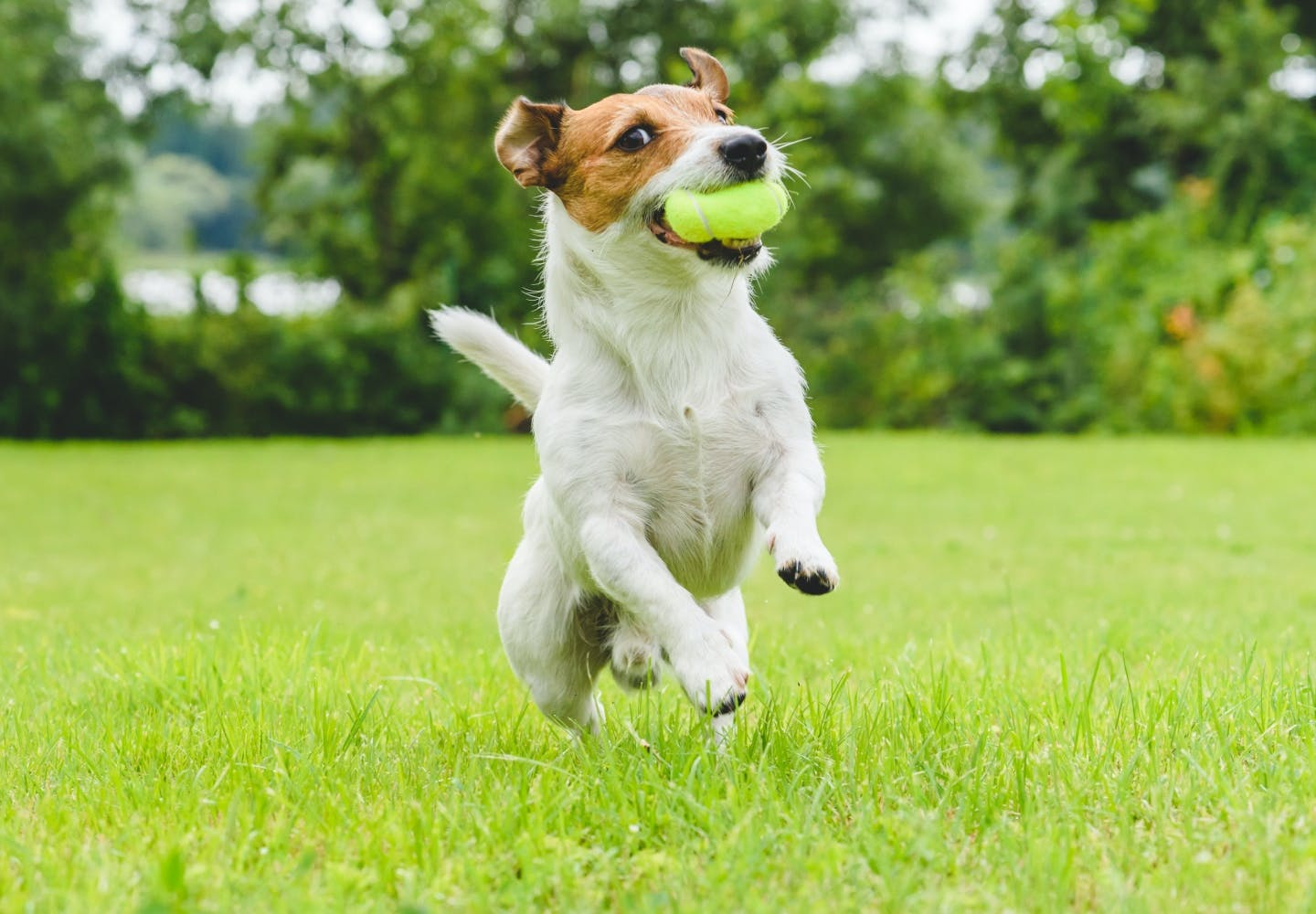 jack_russell_terrier_p03