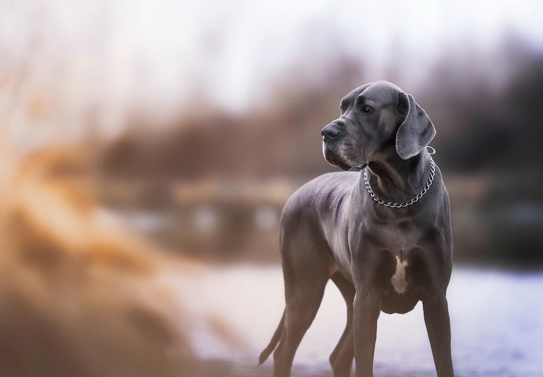 グレート・デンってどんな犬?性格・特徴・飼いやすさや、しつけ方などについて解説【獣医師監修】