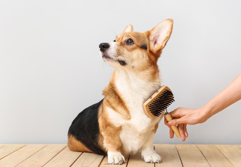 犬のブラッシングの正しい手順とは?うれしい効果や必要なグッズ、嫌がるときの対処法について解説【獣医師監修】