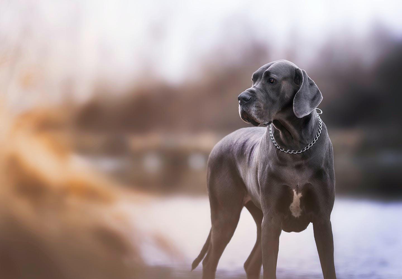 グレート・デンってどんな犬?_犬