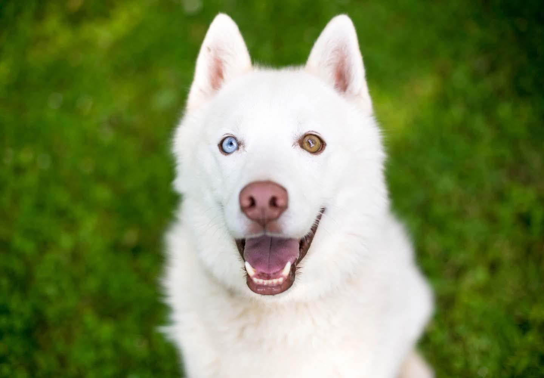 左右の目の色が違う「オッドアイ」の犬が生まれる理由は?体質への影響や、飼育上の注意点について解説【獣医師監修】