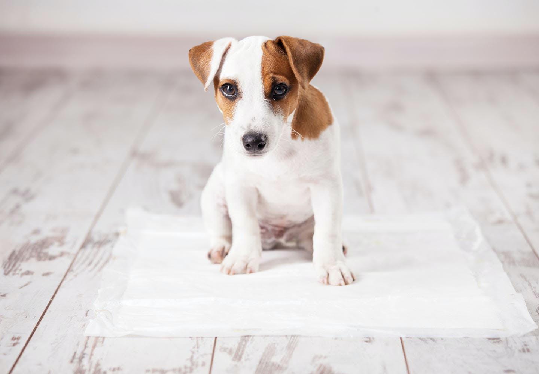 子犬にトイレを覚えさせるには?トイレトレーニングのしつけの基本と注意点、失敗する場合の対処法を解説【獣医師監修】
