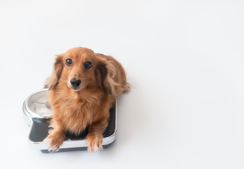 miniature_dachshund_p03