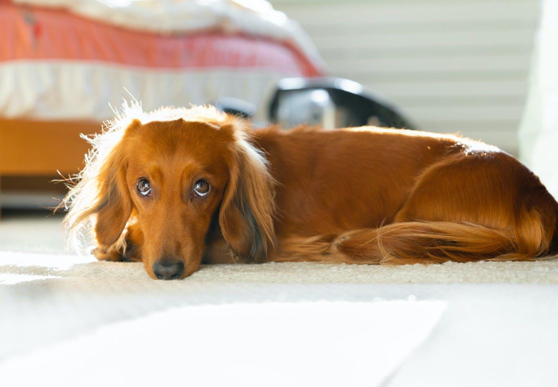 miniature_dachshund_p02