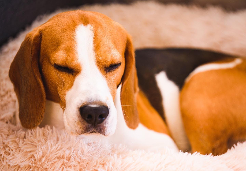 犬の腹水はなぜ溜まる?原因と病院に連れて行くべき症状、治療や予防法などを解説【獣医師監修】